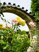 Pastel yellow and pink roses in front of Oriental-style masonry archway in garden