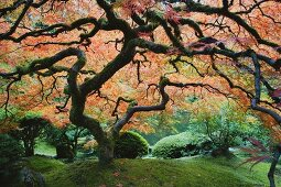 Old, Japanese maple tree in a traditional tea garden in Portland