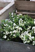 Plants with plump, white berries in zinc tub