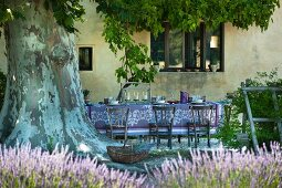 Romantic, shady seating area under majestic plane tree with flowering lavender in foreground