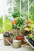 Potted tomato plants and lemon trees flourish in a greenhouse