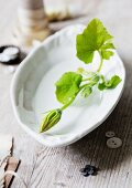 Courgette shoot with flower buds in china dish of water