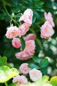 Rosa blühender Rosenbusch