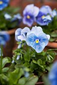 Blue pansies (close-up)
