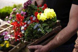 Person trägt Steige mit Sommerblumen