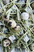 Quails' eggs and hay in egg box
