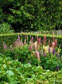 Flowering lupins in garden
