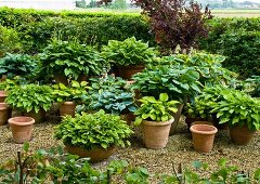 Various hostas in pots & planters