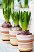 Hyacinths in striped planters on terrace