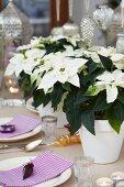 White poinsettias as centrepiece of festive table set for Christmas