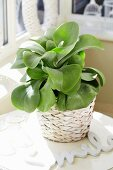 Kalanchoe thyrsiflora in basketwork planter