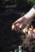 Planting tulips bulbs