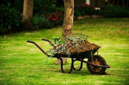 Old wheelbarrow full of garden waste on freshly mown lawn