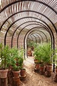 Berry bushes in terracotta pots on tree stumps in tunnel-shaped greenhouse with slatted wooden shades