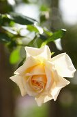 Rose 'New Dawn' bloom lit from behind by the sun