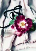 Rambling rose flower of the variety 'Kiftsgate violett'
