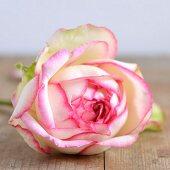 Weisse Rosenblüte mit pinkfarbenem Rand (Close Up)