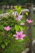Blühende Clematis an einem Gartenzaun