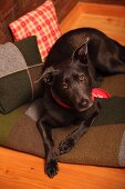 Black dog on patchwork felt blanket next to patchwork cushions in wooden cabin