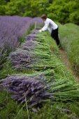 Frau beim Schneiden und Bündeln von Lavendelzweigen auf dem Feld