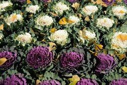 Herbstliches Ginkgolaub auf Beet mit weißem und violettem Zierkohl