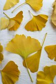 Yellow autumn gingko leaves on white surface