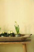 Holzschale mit Frühlingsblumen in Töpfen auf schlichter Holzbank