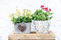 Hornveilchen und Duftpelargonie in unterschiedlich dekorierten Blumentöpfen