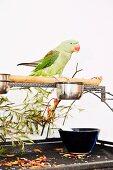 Grüner Sittich sitzt auf einer Holzstange mit Futternäpfchen, Zweigen, Blüttenblättern und einer Glasschale auf einem Metallgestell