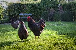 Three free-range hens in sunny garden