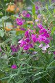 Purple perennial sweet pea in flower bed