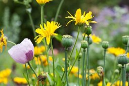 Poppy and stems with seed heads amongst yellow pot marigolds in flower bed