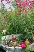 Bird bath hidden amongst plants with pink flowers