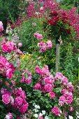 Flowering rose 'Pink cloud'