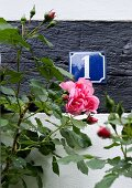Pink rose in front of house number plate on wall
