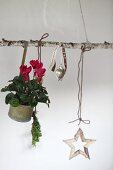 Red cyclamen in metal pot and Christmas decorations hanging from birch branch