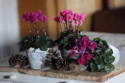 Pink cyclamen in decorated birch bark pots amongst pine cones on wooden surface