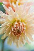 White, star-shaped dahlia flower
