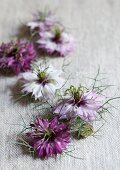 Nigella flowers in various colours on rustic pale fabric