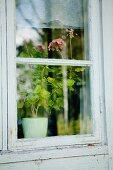 View of potted geranium through lattice window