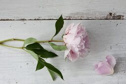 Pink peony on wooden surface