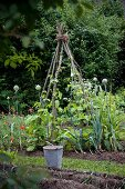 Runner beans growing up tripod in vegetable patch with flowering leeks and poppies