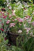 Wicker basket planter amongst flowers in shades of purple in cottage garden