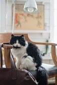 Black and white cat sitting on rustic chair