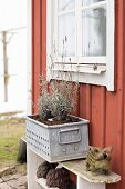 Lavender in metal planter on bench against outer wall of Falu red wooden house