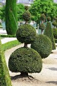Topiarised boxtrees in the Garden of the Palace of Versailles