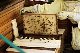 Bee-keeper holding honeycomb frame