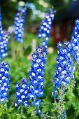 Blue delphiniums in garden