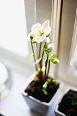 Blühende Christrose in kleinem Blumentopf am Fenster