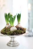 Hyacinth bulbs and moss arranged on silver dish